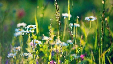 поле, ромашки, трава, цветы