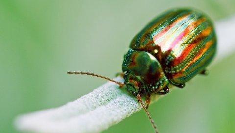 насекомое, жук, зеленый, макро, золотой