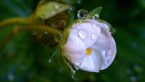 макро, капли , цветок