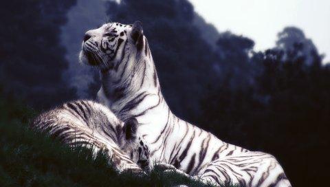 тигры, сон, трава