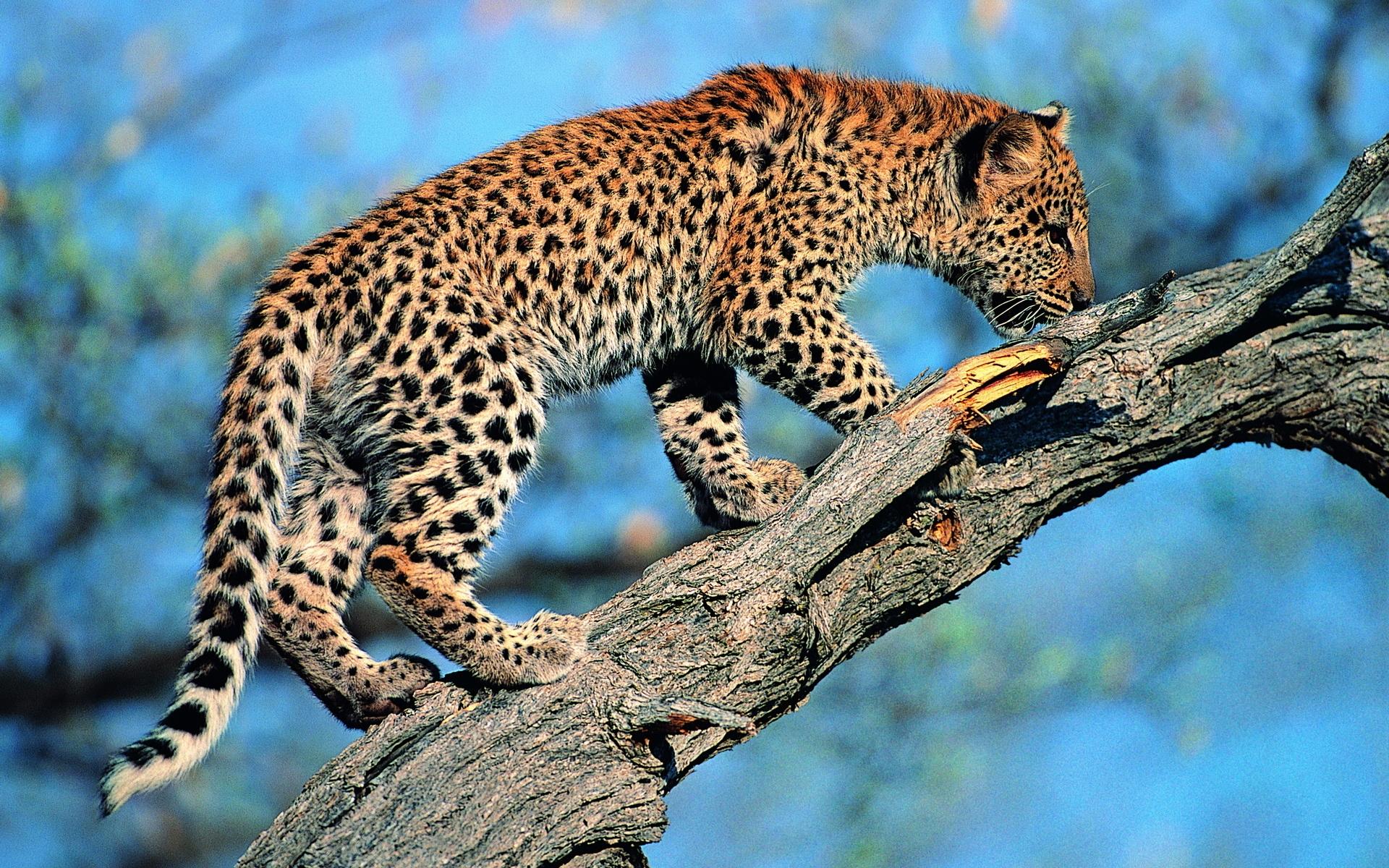 Картинки леопард, хвост, дерево фото и обои на рабочий стол