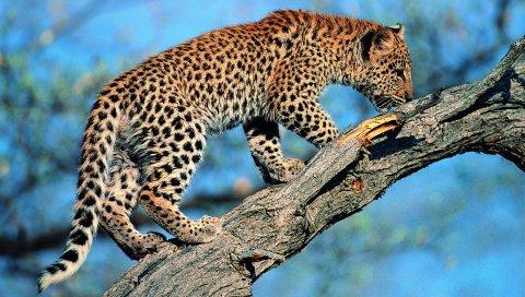 леопард, хвост, дерево