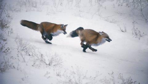 лис, зима, бег трусца, охотничья