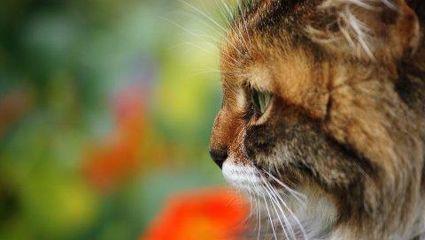 кошка, профиль, шерсть