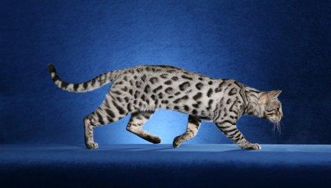 кошка, леопард окраска, Ашер
