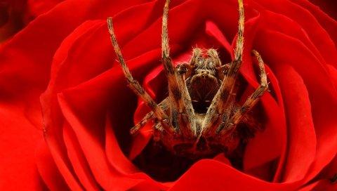 паук, роза, цветок, ноги