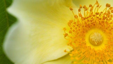 цветок, тычинки, лепестки