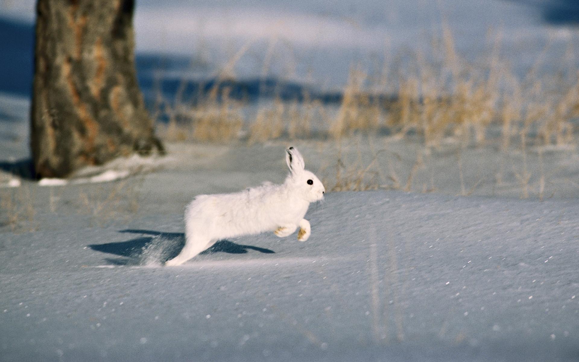 Картинки снег, дерева, грызун, шуба, кролик фото и обои на рабочий стол