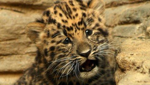 гепард, маленький, ребенок, котенок, кошка