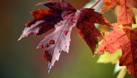 листья, капли, макро