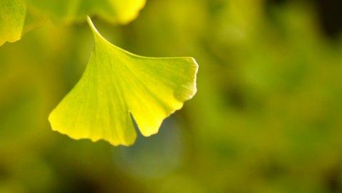 листья, макро, зеленый, резной