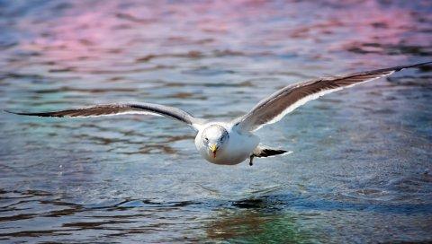 чайки, море, поверхность , птица