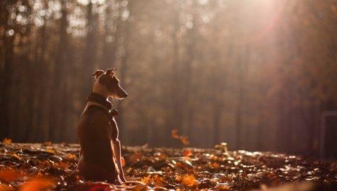 Собака, осень, природа, листья,