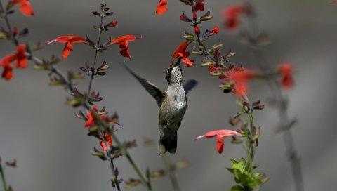 Птицы, колибри, цветы, красный