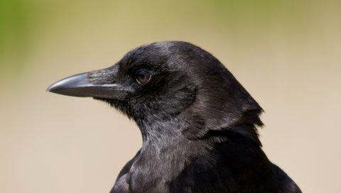 Птица, ворон, вид, профиль