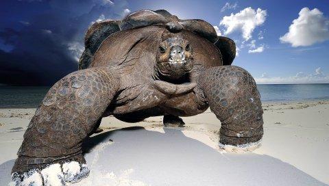 Песок, пляж, черепахи, большой