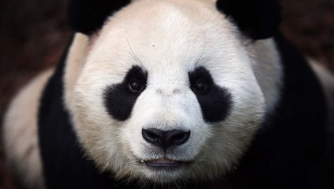 Медведь, панда, морда