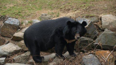 Медведь, большой, толстый, камни