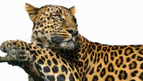 Леопард, большой кот, хищник, пятна
