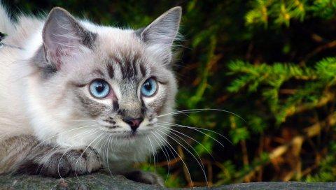 Кошка, глаза, синий, ветка, зеленый