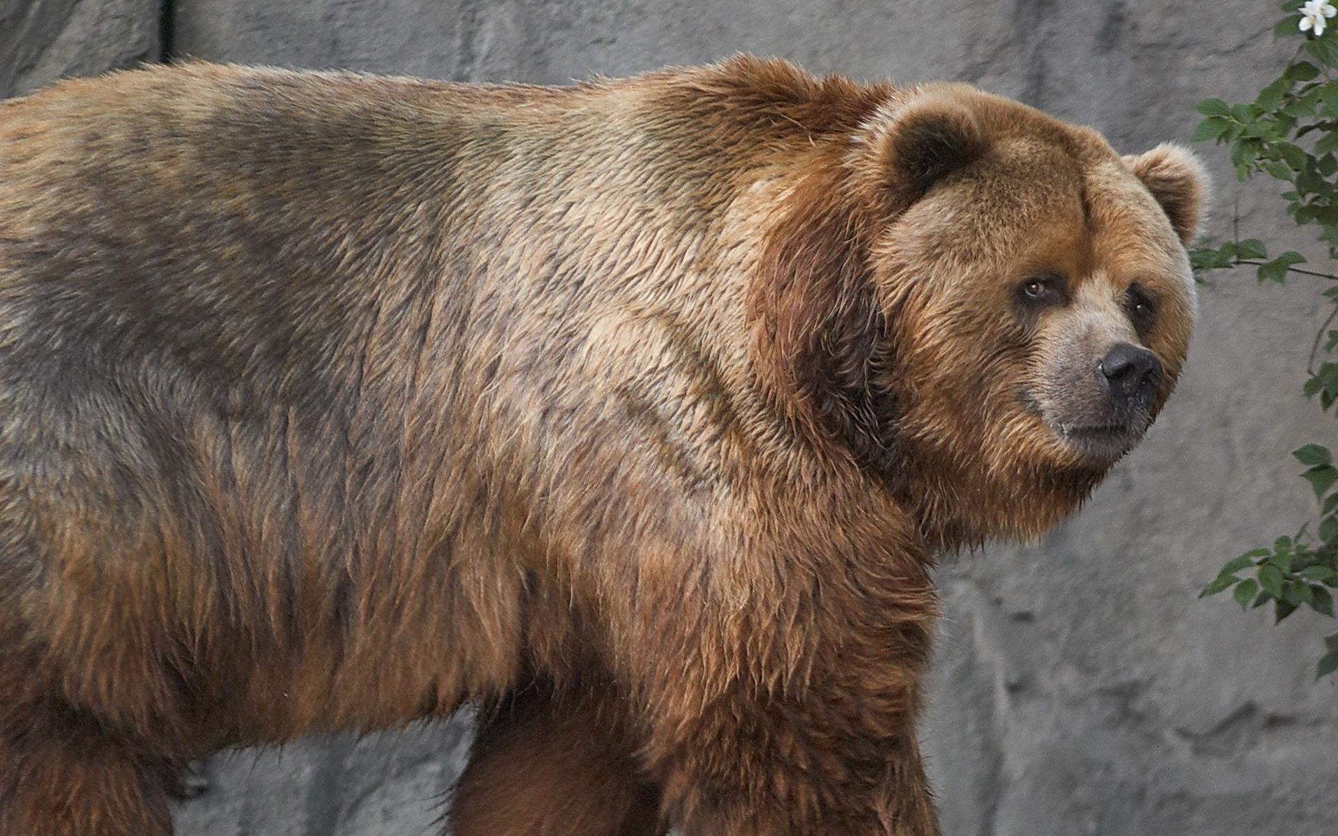 медведь кадьяк картинка декор