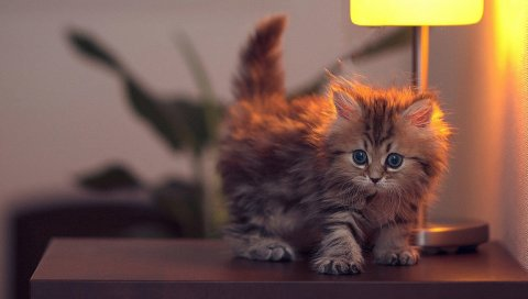 Котенок, свет, стол, пушистый