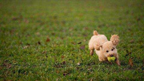 Собака, трава, мяч, игрушка