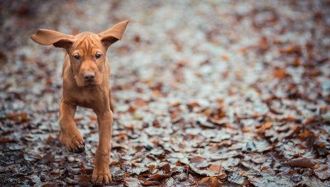 Собака, листья, осень, бег, уши