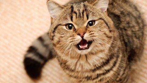Кошка, пушистый, глаза, лицо
