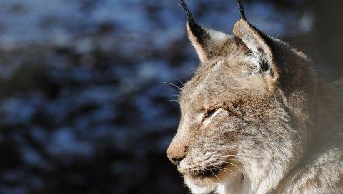 Lynx, лицо, хищник, профиль