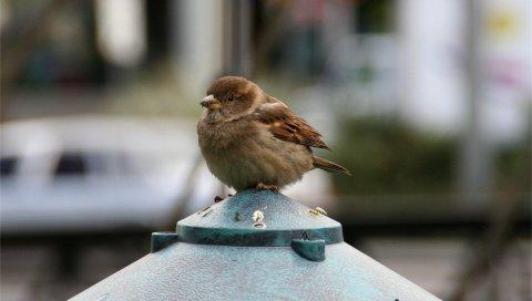 Воробей, птица, маленький, сидящий, перья
