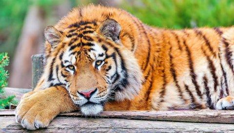 Тигр, трава, большой кот, плотоядное животное, ложь