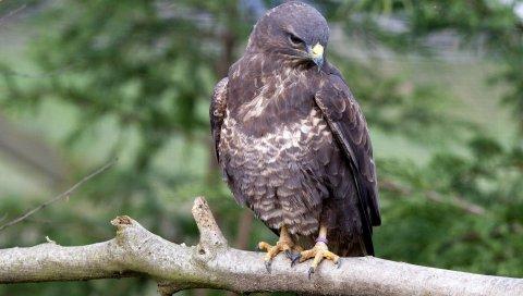 Орел, птица, хищник, клюв, ветка, сидеть