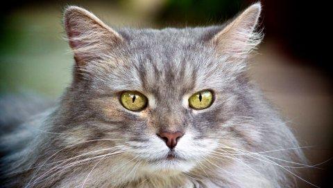 Кошка, лицо, пушистый, серый