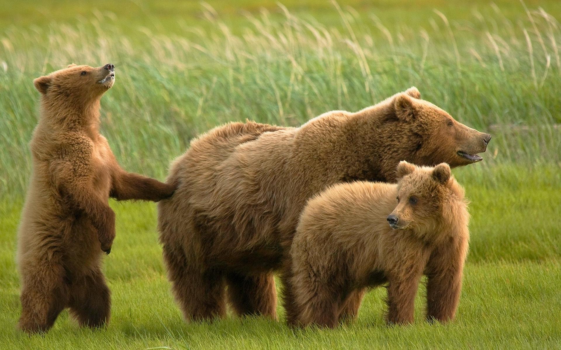 Картинки Медведи, трава, семья фото и обои на рабочий стол