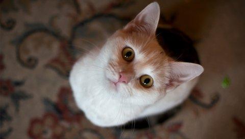 Кошка, лицо, глаза, вид сверху