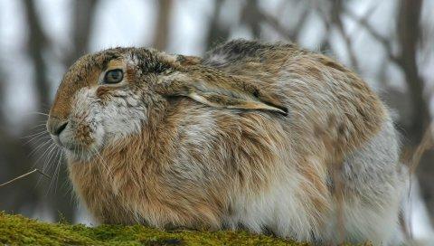 Кролик, заяц, пушистый, уши