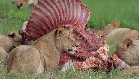 Львы, еда, добыча, трава