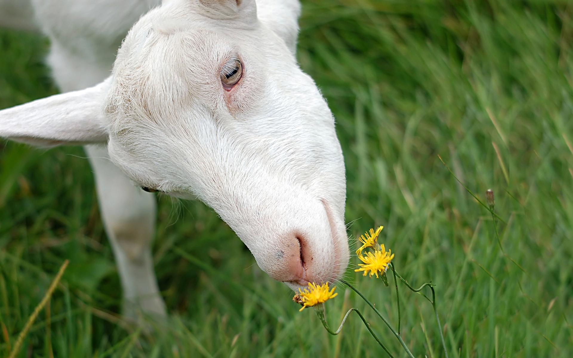 фото коза за столом картинка намерение