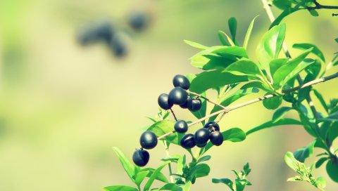 Ягода, ветка, листья, растения, размытие
