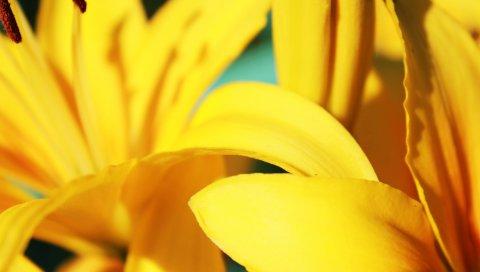 Цветы, лепестки, полосы, желтый