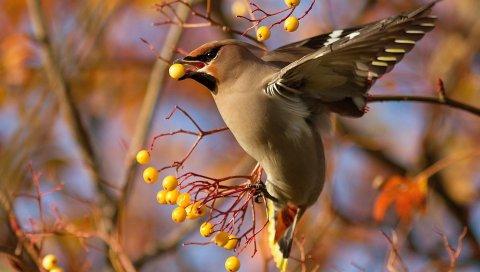 Воск, птица, ветка, ягоды