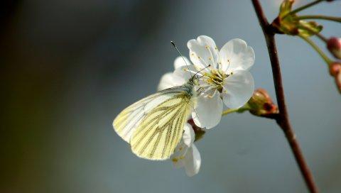 Бабочка, вишня, весна, цветок