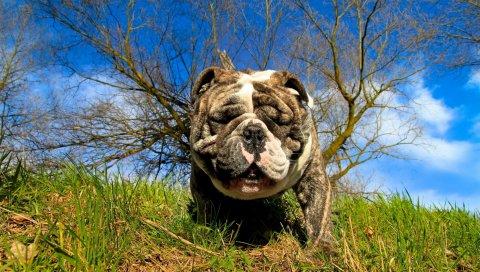 Собака, бульдог, трава, глаза