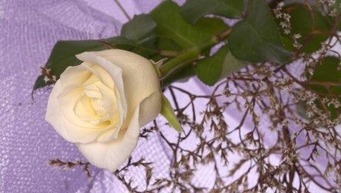 роза, белая, ветка, макро