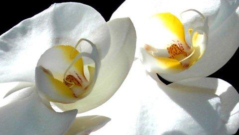 Цветок, белая орхидея, лепестки