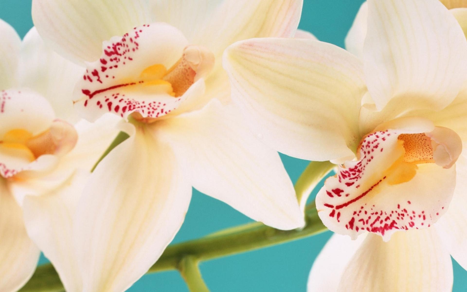 природа цветы белые орхидея nature flowers white Orchid бесплатно