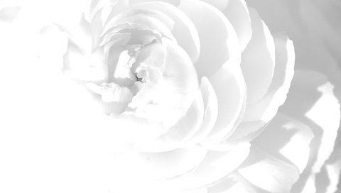 Белая роза, лепестки, цветок, яркий