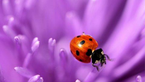 Божья коровка, цветок, фиолетовый, поверхность