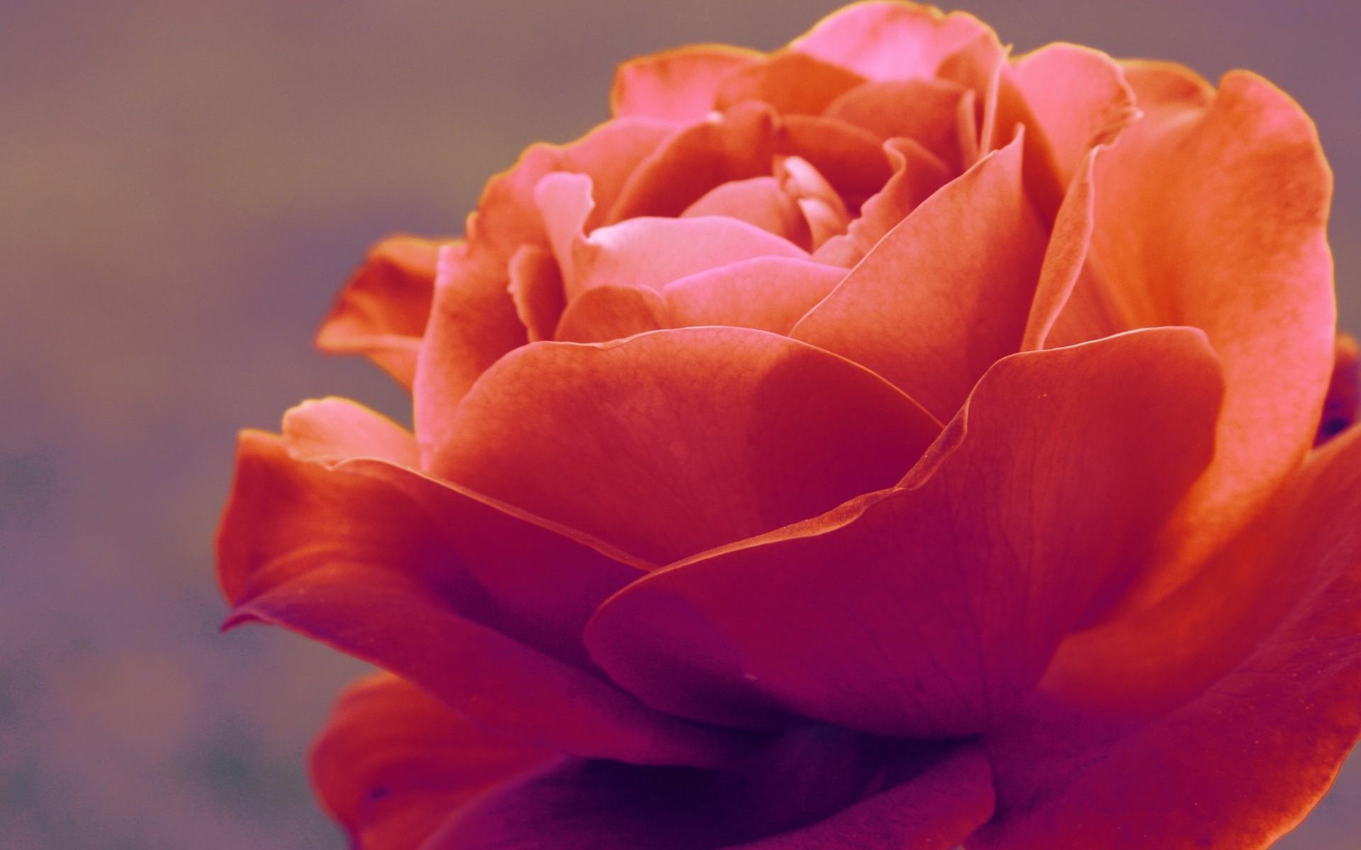 Картинки Роза, растение, лепестки, красный фото и обои на рабочий стол